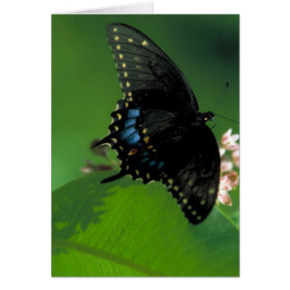 Black SwallowTail Butterfly on Flower Cards