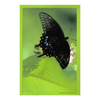 Black Swallowtail Butterfly Photo Print