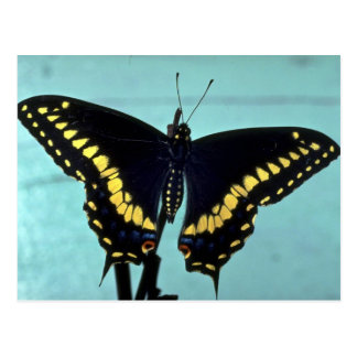 Black swallowtail butterfly post cards