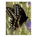 Black Swallowtail Butterfly Postcard
