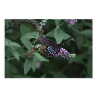 Black Swallowtail Butterfly Print