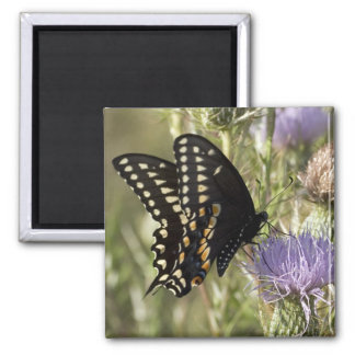 Black Swallowtail Butterfly Square Magnet Refrigerator Magnet