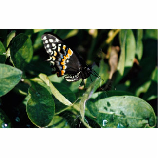 Black swallowtail butterfly, Wichita, Kansas, U.S. Photo Cut Out