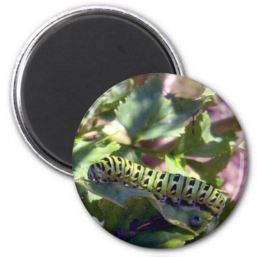 Black Swallowtail Caterpillar 1 Magnet