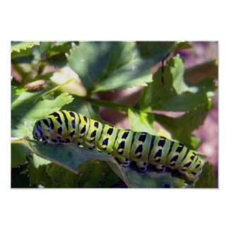 Black Swallowtail Caterpillar 1 Poster