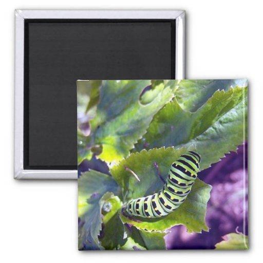 Black Swallowtail Caterpillar 2 Magnet