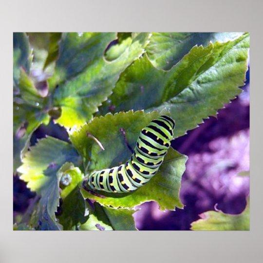 Black Swallowtail Caterpillar 2 Poster