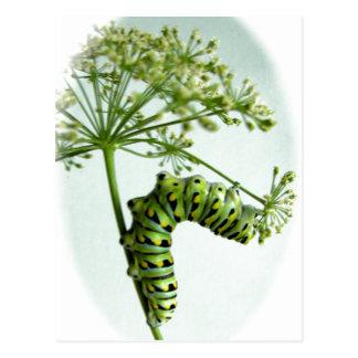 Black Swallowtail Caterpillar eating parsley Postcard