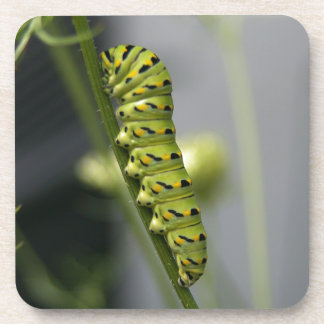 Black swallowtail caterpillar (parsleyworm) on Dil Beverage Coaster