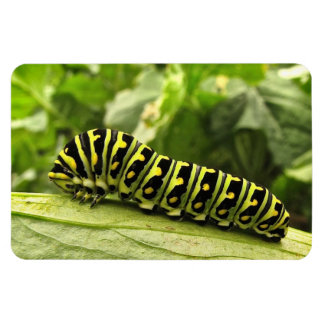 Black Swallowtail Caterpillar Magnets
