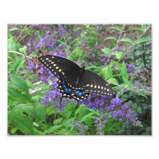 Black Swallowtail ~ Photo