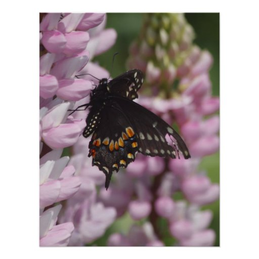 Black Swallowtail Posters