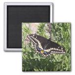 Black Swallowtail Refrigerator Magnet