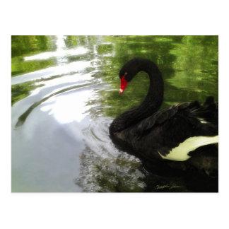Black Swan 1 Pond Ripples Postcard
