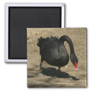 Black Swan 2 Inch Square Magnet
