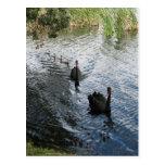 Black Swans, Perth Post Card