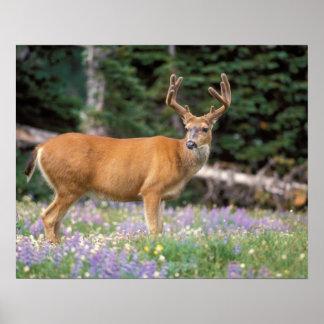 Black-tailed deer, buck eating wildflowers, print