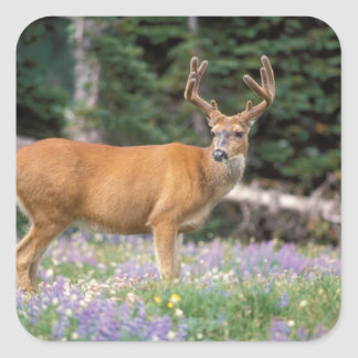 Black-tailed deer, buck eating wildflowers, square sticker