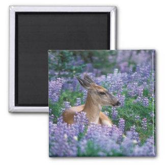 Black-tailed deer, doe resting in siky lupine, fridge magnet