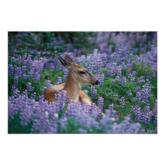 Black-tailed deer, doe resting in siky lupine, posters