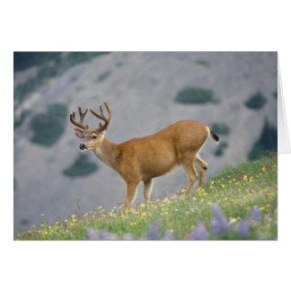black-tailed deer, Odocoileus hemionus, buck Card