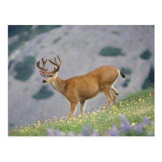 black-tailed deer, Odocoileus hemionus, buck Postcard
