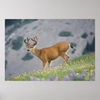 black-tailed deer, Odocoileus hemionus, buck Poster