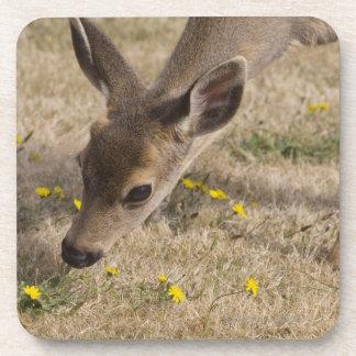 Black-tailed Deer (Odocoileus hemionus) grazing Beverage Coaster