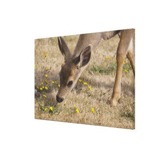 Black-tailed Deer (Odocoileus hemionus) grazing Canvas Print