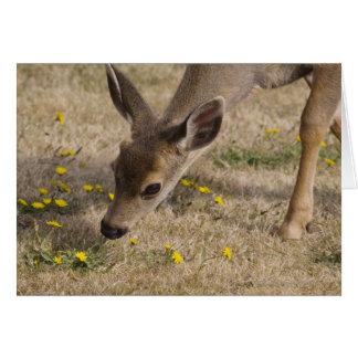 Black-tailed Deer (Odocoileus hemionus) grazing Card