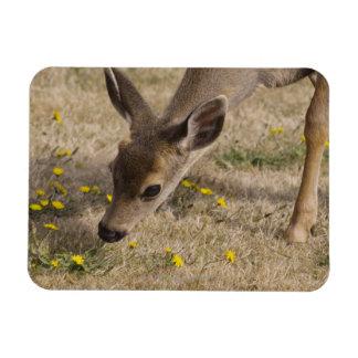 Black-tailed Deer (Odocoileus hemionus) grazing Magnet