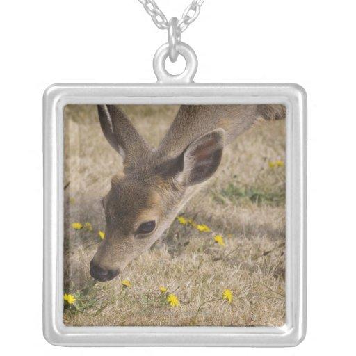 Black-tailed Deer (Odocoileus hemionus) grazing Jewelry