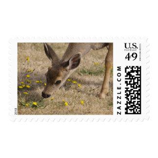 Black-tailed Deer (Odocoileus hemionus) grazing Postage