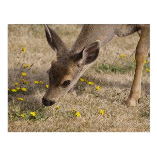 Black-tailed Deer (Odocoileus hemionus) grazing Postcard