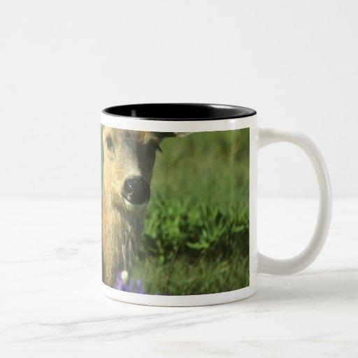 Black-tailed Deer, Odocoileus hemionus), in Coffee Mug
