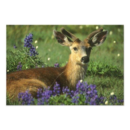 Black-tailed Deer, Odocoileus hemionus), in Photograph