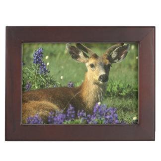 Black-tailed Deer, Odocoileus hemionus), in Keepsake Box