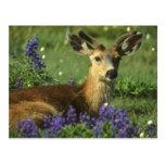 Black-tailed Deer, Odocoileus hemionus), in Post Cards