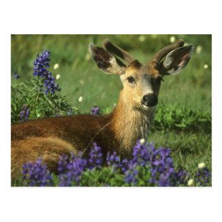 Black-tailed Deer, Odocoileus hemionus), in Postcard