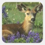 Black-tailed Deer, Odocoileus hemionus), in Sticker