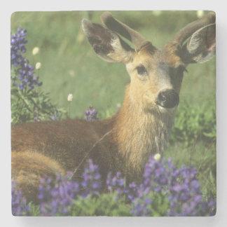 Black-tailed Deer, Odocoileus hemionus), in Stone Coaster