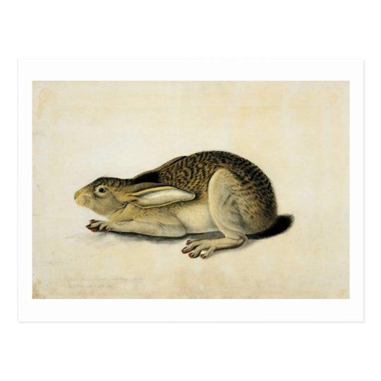 Black-Tailed Hare, John James Audubon Postcard