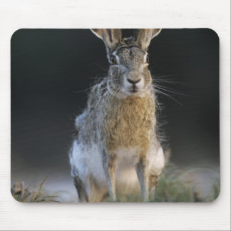 Black-tailed Jackrabbit, Lepus californicus, 2 Mouse Pad
