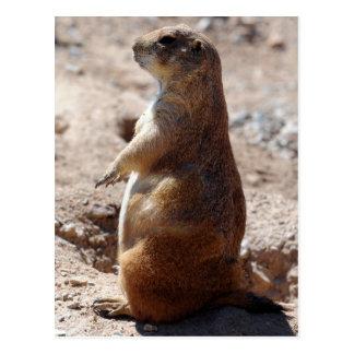 Black-tailed Prairie Dog 1 Postcard