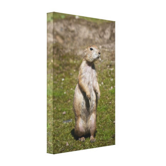 Black-tailed Prairie Dog Stretched Canvas Print