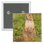 Black-tailed Prairie Dog Cynomys Buttons
