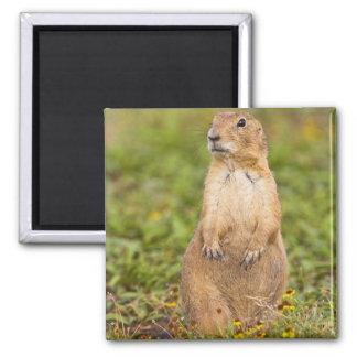 Black-tailed Prairie Dog Cynomys Magnet