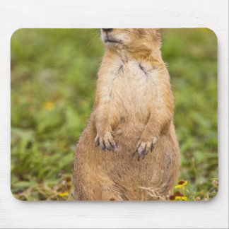 Black-tailed Prairie Dog Cynomys Mouse Pad