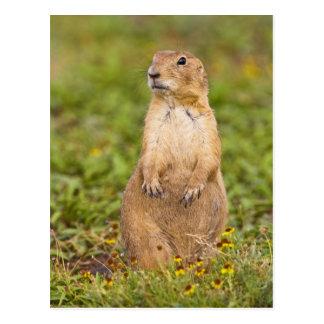 Black-tailed Prairie Dog Cynomys Postcard