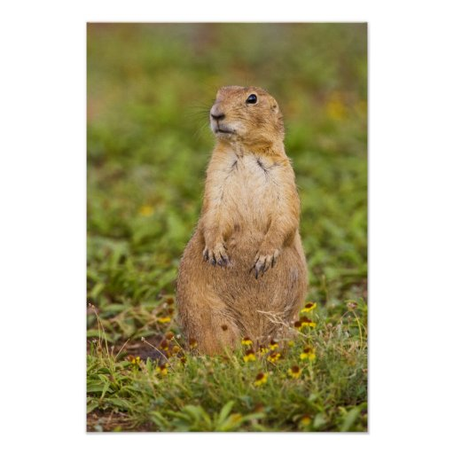 Black-tailed Prairie Dog Cynomys Poster